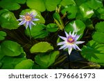 Purple Colored Water Lily ...
