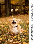 Welsh Corgi Pembroke Dog Plays...