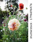 Dahlias Among The Beds Of A...