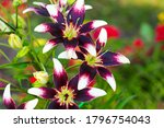 Small photo of Asiatic hybrid lilies dark purple blossoms with white tips. Grade of Netty's Pride, Lilium hybridum