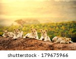 Stock photo close up of lion cubs laying together waiting upon mother 179675966
