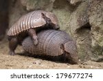 Armadillo Close Up Portrait...