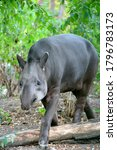 Black Tapir Living In Forest....