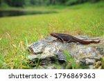 Himalayan Newt Or Salamander I...