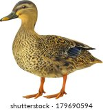 Female Mallard Duck Isolated O...