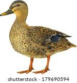 Female Mallard Duck Isolated O...