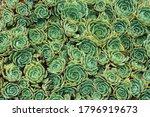 Succulent Echeveria Plant With...