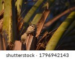 Asian Gray Squirrel On Palm...