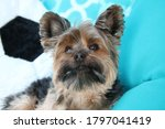 Yorkie Dog In A Chair