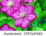Pretty Purple Clematis Flower...