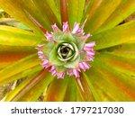 Pineapple Flowers Blooming On...