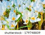 Beautiful Spring Crocus Macro...