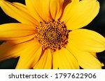 Flower Yellow Chrysanthemum  O...