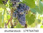 red wine grapes on the vine | Shutterstock . vector #179764760