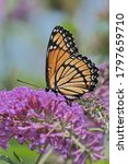 Small photo of A viceroy butterfly enjoying the nectar of a plant.