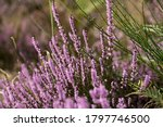 View Of A Pink Heather Blooming ...