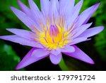 Purple Lotus Flower. Macro...
