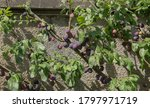 Late Summer Fruit Ripening on a Merryweather Damson Tree (Prunus insititia) Growing Against a Wall in a Country Cottage Garden in Rural Devon, England, UK - stock photo