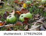 Green Apples Lie In The Grass...