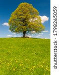 Single Big Linden Tree In...