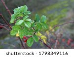 Green Leaves Of Dog Rose  Rosa...