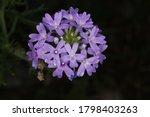 Tiny Cluster Of Purple Wild...