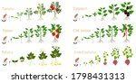 set of growth cycles of...   Shutterstock .eps vector #1798431313