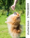 Spitz Training And Obedience....