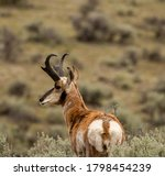 Antelope Buck Overlooking The...