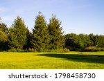 Three Spruce Trees At The Edge...