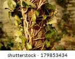 efeu climbing up a dead apple... | Shutterstock . vector #179853434