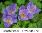 Crocus Speciosus Autumn Blue...