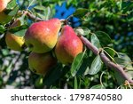 Group Of Red Yellow Ripe Pears...
