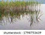 Green Lake Reeds And Calamus...