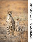Adult Female Cheetah And Her...