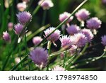 wild onion flower bulbs. allium ...