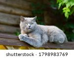 Gray Purebred Shorthair Cat On...