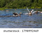 Domestic Geese With Spread...