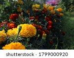 Small Marigolds  Garden...
