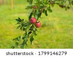 Beautiful Apple Tree With Red...