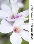Macro Shot Of The Stigma From A Magnolia Flower - stock photo