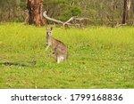 Grey Kangaroos  A Marsupial...