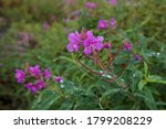 Close Up Of Pink Fireweed...