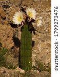 Blooming Cactus In Volterra ...