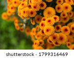 Orange Chrysanthemums Close Up...