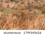 Two Giraffe Partially Obscured...