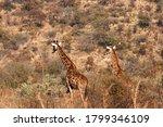 Two Giraffe Moving Away Throug...