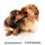 Longhair Dachshunds  Puppy Lov...