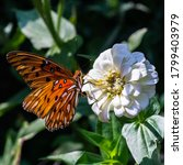 Small photo of lycaenid (gossamer winged) butterfly on white flowers in late summer
