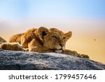 Group Of Young Lions Lying On...